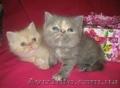 ЭКЗОТЫ экзотические короткошерстные персы котята