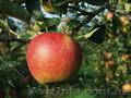 Продам летнее яблоко урожая 2010года
