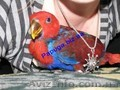 Элитные попугаи из питомника«Г.Р.А.Ф.». - Изображение #2, Объявление #708802