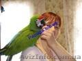 Элитные попугаи из питомника«Г.Р.А.Ф.». - Изображение #4, Объявление #708802