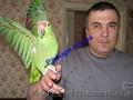 Элитные попугаи из питомника«Г.Р.А.Ф.». - Изображение #5, Объявление #708802