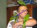 Элитные попугаи из питомника«Г.Р.А.Ф.». - Изображение #8, Объявление #708802