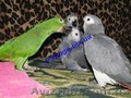 Элитные попугаи из питомника«Г.Р.А.Ф.». - Изображение #9, Объявление #708802