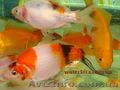 Карпы Кои, Кометы (золотые рыбки,  карпы кои)  для прудов и аквариумов