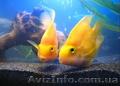 Аквариумная рыба разводная и импортная оптом и в розницу, Объявление #953162