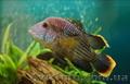 Аквариумная рыба разводная и импортная оптом и в розницу - Изображение #2, Объявление #953162