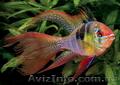 Аквариумная рыба разводная и импортная оптом и в розницу - Изображение #3, Объявление #953162