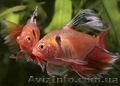 Аквариумная рыба разводная и импортная оптом и в розницу - Изображение #4, Объявление #953162
