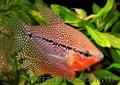 Аквариумная рыба разводная и импортная оптом и в розницу - Изображение #5, Объявление #953162