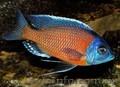 Аквариумная рыба разводная и импортная оптом и в розницу - Изображение #7, Объявление #953162