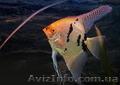 Аквариумная рыба разводная и импортная оптом и в розницу - Изображение #8, Объявление #953162