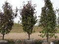 Саженцы - Черешня,  вишня,  персик,  абрикос,  слива,  яблоня,  груша. . . . . .