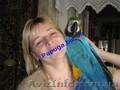 Говорящий синежелтый ара., Объявление #1059142