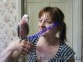 Розовый какаду., Объявление #1235363