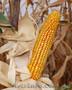 Семена кукурузы , Объявление #1289512