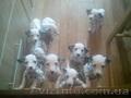 Продам чистокровных щенков далматина