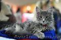 Супер котята мейн-куны от шикарных родителей