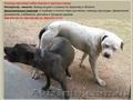 Вязка собак + искусственное оплодотворение. Мелкие и крупные породы.