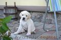 Красивейшие и умнейшие щенки Лабрадора ретривера