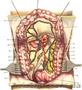 Атлас операций на брюшной стенке и органах брюшной полости В.Н.   Войл