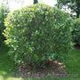 саженцы, растения - Изображение #9, Объявление #1485420
