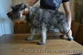 Алиментный щенок миттельшнауцера