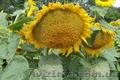 Насіння гібриду соняшника - Нео