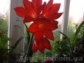 Продам лилию валлоту прекрасную (пурпурную) - Изображение #2, Объявление #1504013