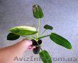 Тайский сортовой филодендрон