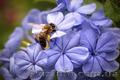 Продам 20 пчелопакетов, Объявление #1503612