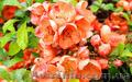 Продам саженцы Айва японская и много других растений (опт от 1000 грн)