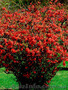 Продам саженцы Айва японская и много других растений (опт от 1000 грн) - Изображение #2, Объявление #1562549