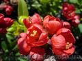 Продам саженцы Айва японская и много других растений (опт от 1000 грн) - Изображение #4, Объявление #1562549