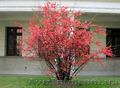 Продам саженцы Айва японская и много других растений (опт от 1000 грн) - Изображение #5, Объявление #1562549