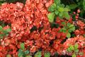 Продам саженцы Айва японская и много других растений (опт от 1000 грн) - Изображение #6, Объявление #1562549