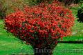 Продам саженцы Айва японская и много других растений (опт от 1000 грн) - Изображение #7, Объявление #1562549