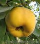 Продам саженцы Айва лесная низкорослая (без кома) и много других растений, Объявление #1562544