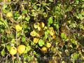 Продам саженцы Айва лесная низкорослая (без кома) и много других растений - Изображение #2, Объявление #1562544