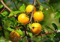Продам саженцы Айва лесная низкорослая (без кома) и много других растений - Изображение #3, Объявление #1562544