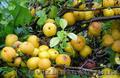 Продам саженцы Айва лесная низкорослая (без кома) и много других растений - Изображение #4, Объявление #1562544