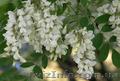 Продам саженцы Акации и много других растений (опт от 1000 грн), Объявление #1562547