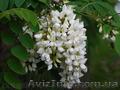Продам саженцы Акации и много других растений (опт от 1000 грн) - Изображение #2, Объявление #1562547