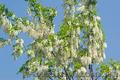 Продам саженцы Акации и много других растений (опт от 1000 грн) - Изображение #4, Объявление #1562547