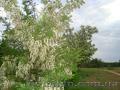 Продам саженцы Акации и много других растений (опт от 1000 грн) - Изображение #8, Объявление #1562547