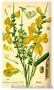 Продам саженцы Акации и много других растений (опт от 1000 грн) - Изображение #5, Объявление #1562547