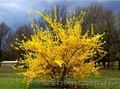 Продам саженцы Акации и много других растений (опт от 1000 грн) - Изображение #6, Объявление #1562547