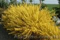 Продам саженцы Акации и много других растений (опт от 1000 грн) - Изображение #7, Объявление #1562547