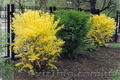 Продам саженцы Акации и много других растений (опт от 1000 грн) - Изображение #9, Объявление #1562547