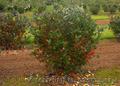 Продам саженцы Черноплодной Рябины (Аронии) и много других растений, Объявление #1562596