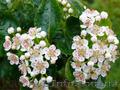 Продам саженцы Черноплодной Рябины (Аронии) и много других растений - Изображение #2, Объявление #1562596